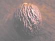 Muslatnuss